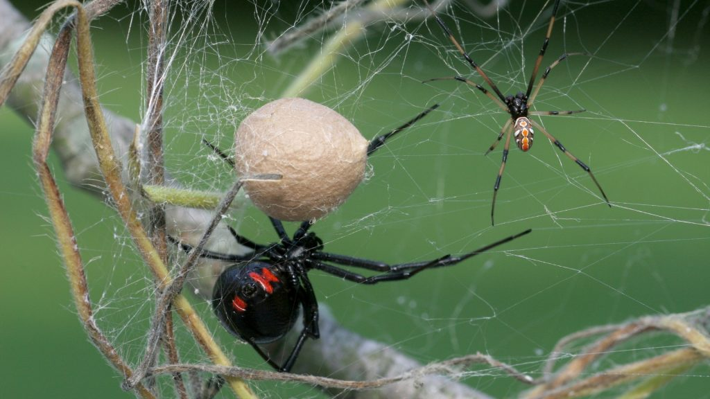 How To Get Rid of Black Widow Spider Egg Sacs