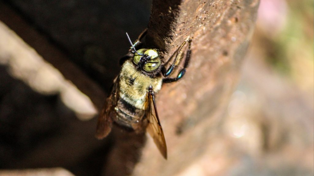 How To Get Rid of Carpenter Bees in Your House