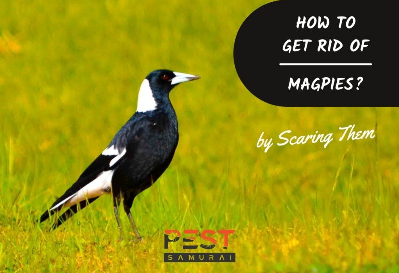 How To Get Rid of Magpies by Scaring Them