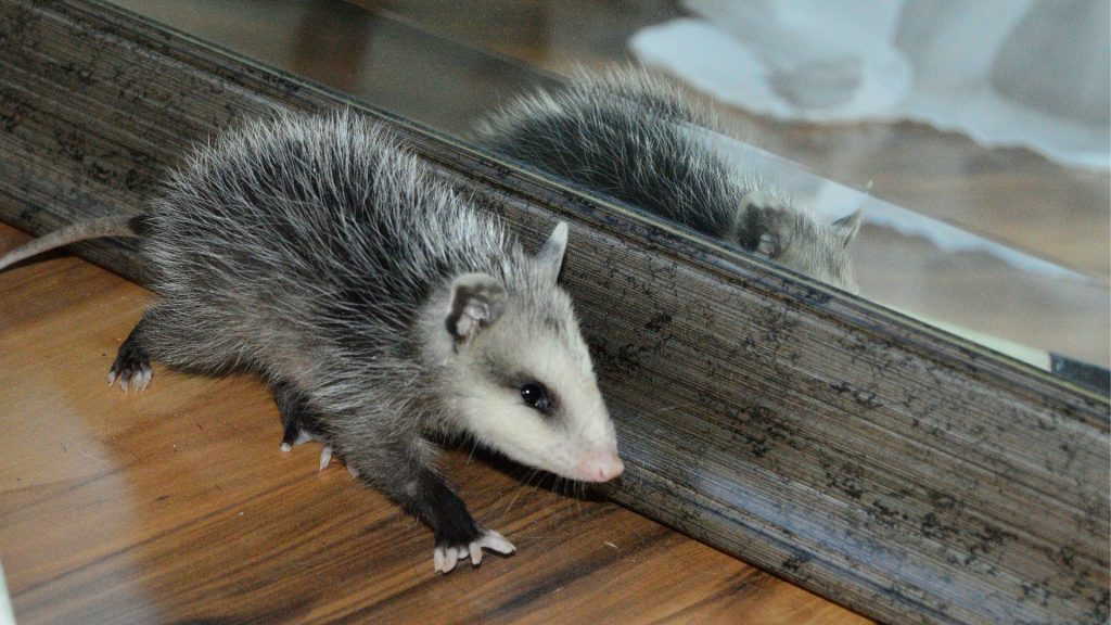How To Get Rid of Opossum in House