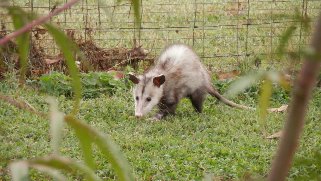 How To Get Rid of Opossums in Your Yard
