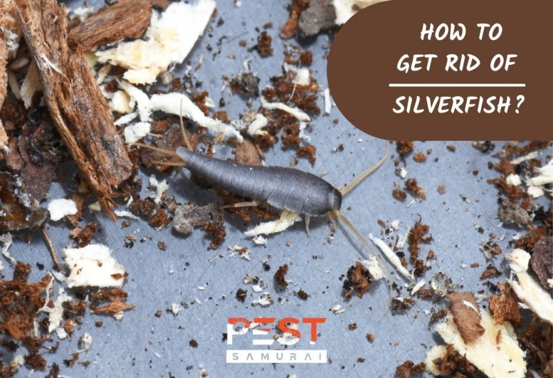 How To Get Rid of Silverfish 3