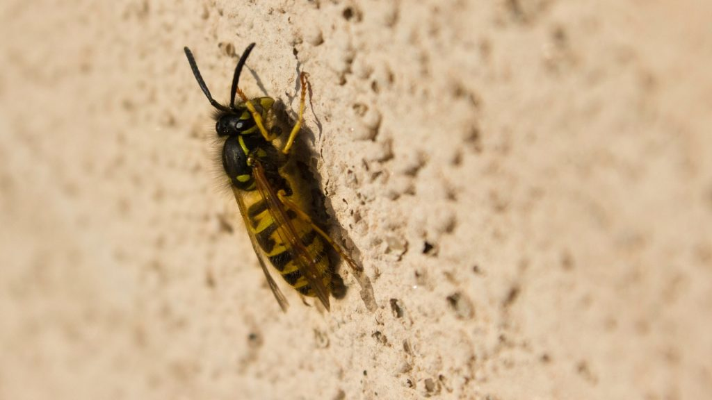 How To Get Rid of Yellow Jackets in a Wall