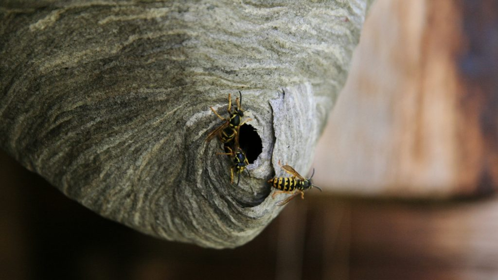 How To Get Rid of Yellow Jackets in the Attic