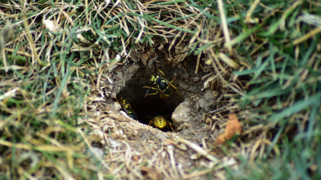 How To Get Rid of Yellow Jackets in the Ground