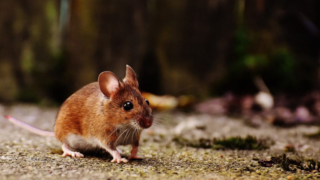 How To Repel Mice