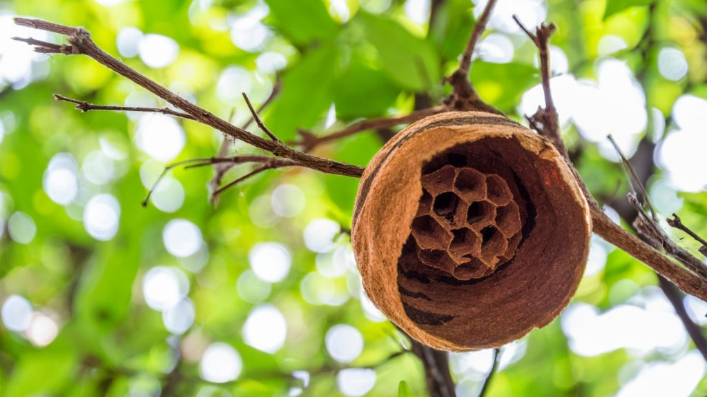 How To Tell if a Hornet's Nest Is Empty