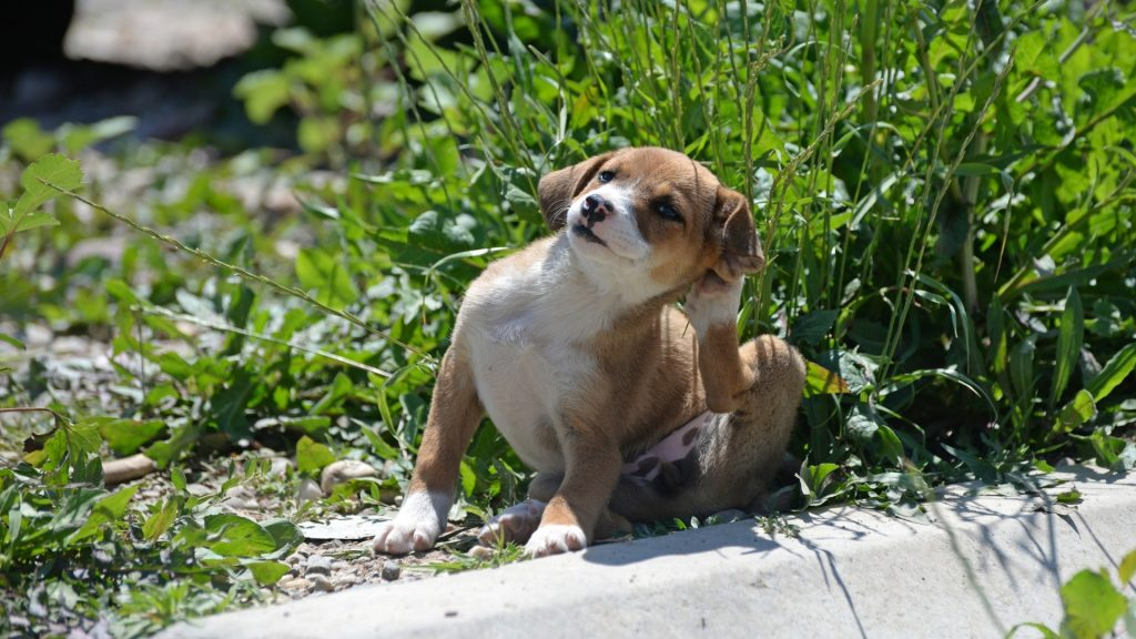 How To Use Diatomaceous Earth for Fleas on Dogs