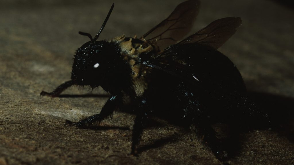 How to Get Rid of Carpenter Bees Under Shed