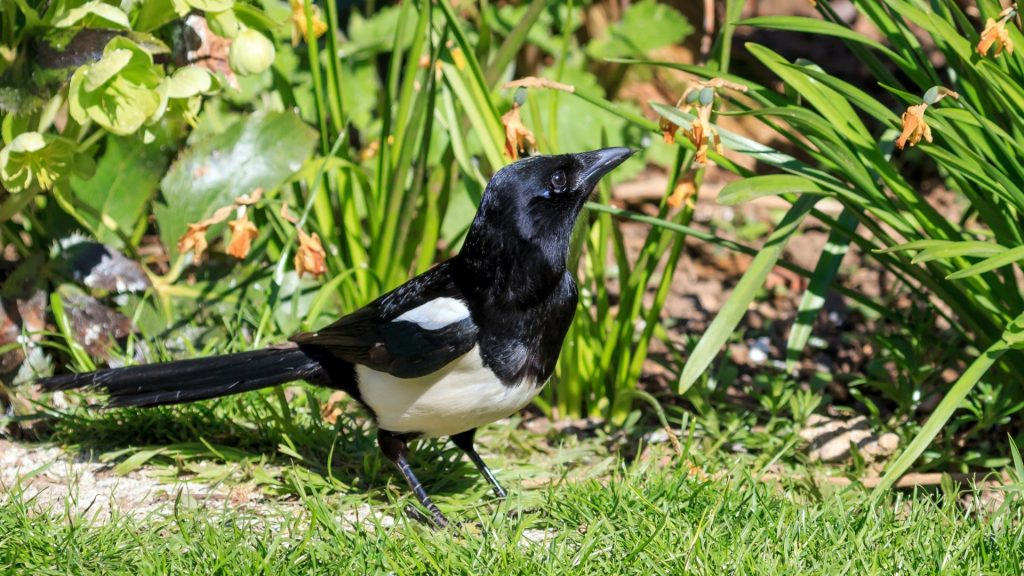 How to Keep Magpies Out of Your Yard and Garden