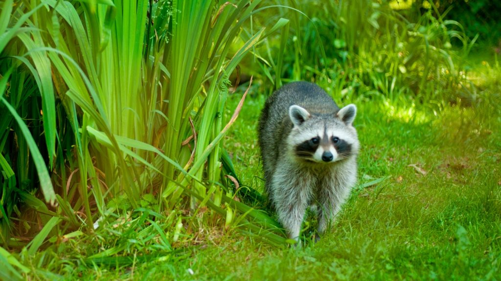 Ways To Keep Raccoons Out of Your Garden