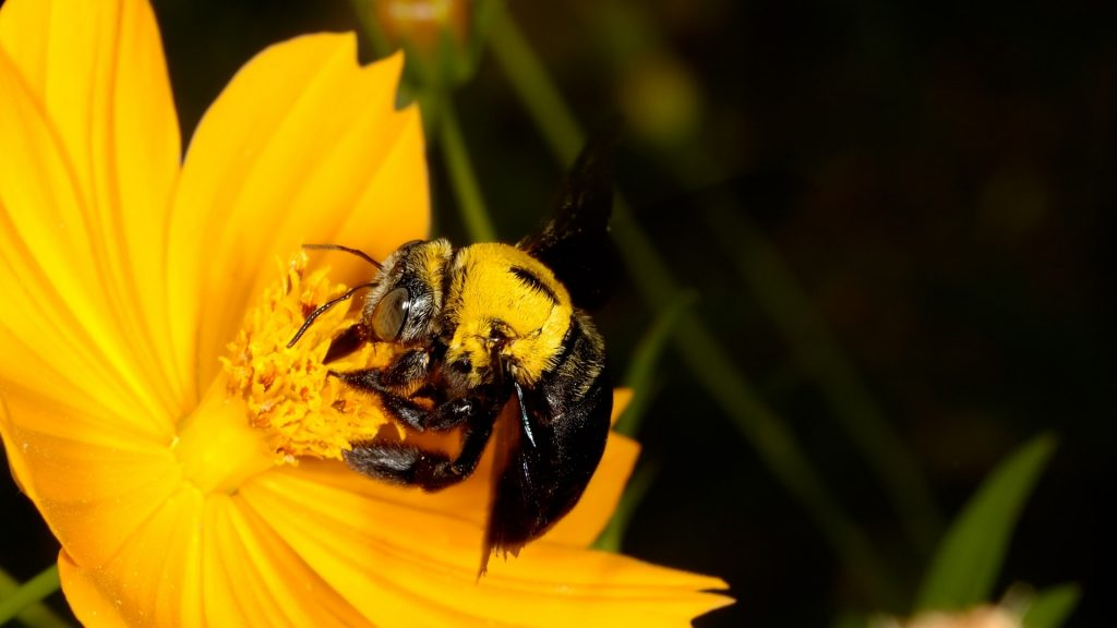 What Attracts Carpenter Bees