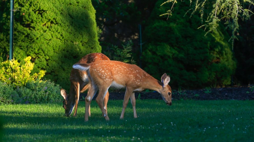What Attracts Deer to Your Yard