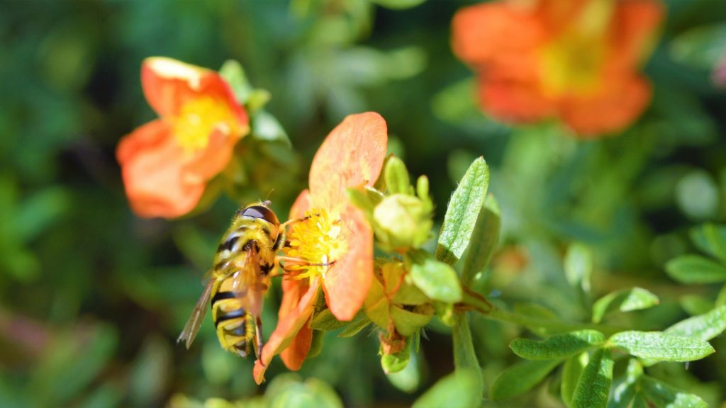 What Attracts Hoverflies