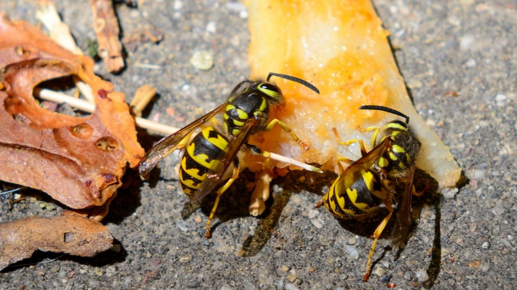 What Attracts Yellow Jackets