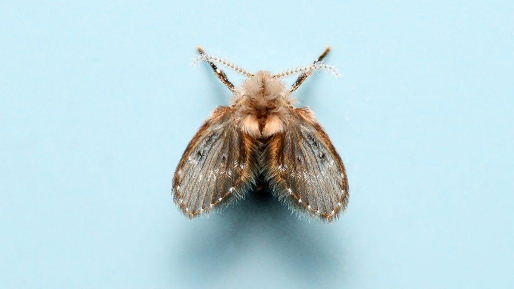 What Do Drain Flies Look Like