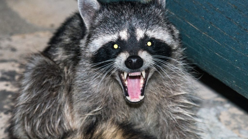 What Do Raccoons Hate