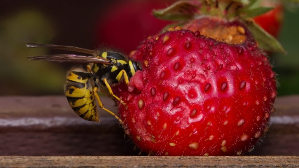 What Do Wasps Like To Eat