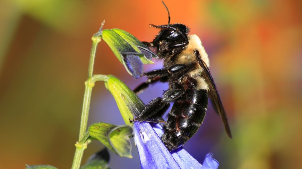 What Does a Carpenter Bee Look Like