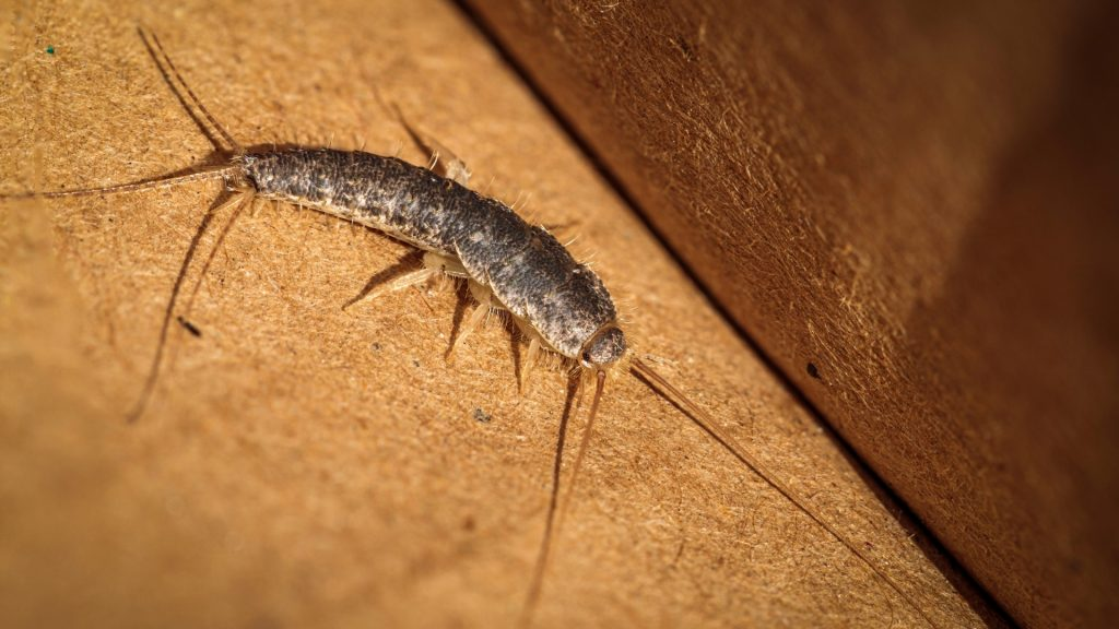 What Does a Silverfish Look Like