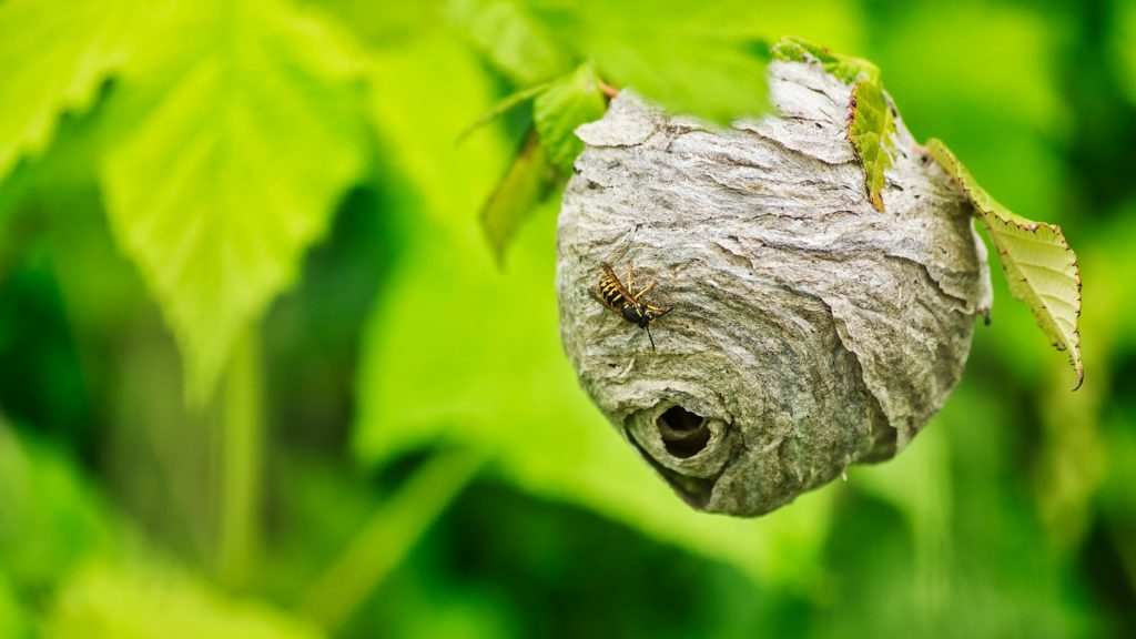 What Does a Yellow Jacket Nest Look Like