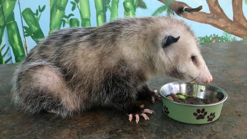 What Food Attracts Opossums