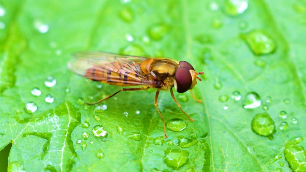What Is a Hoverfly