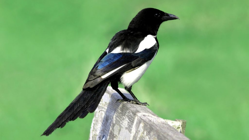 What Is a Magpie Bird
