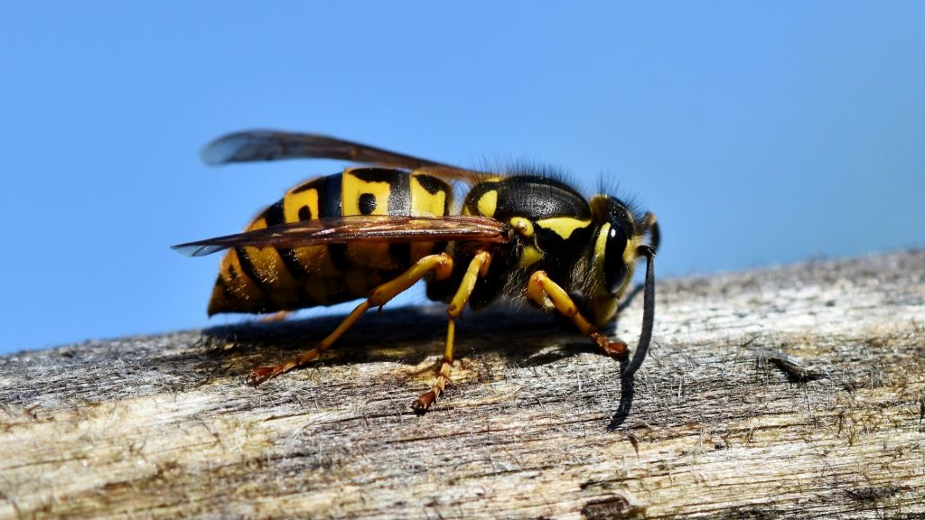 What Is a Wasp