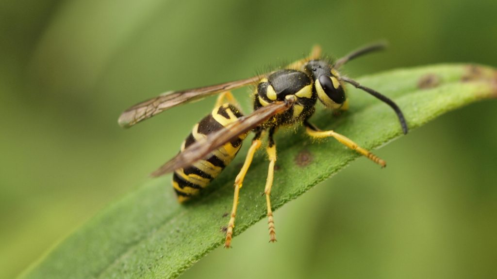 What Is a Yellow Jacket