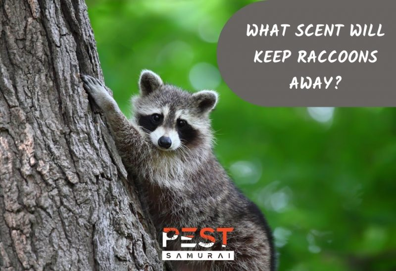 What Scent Will Keep Raccoons Away