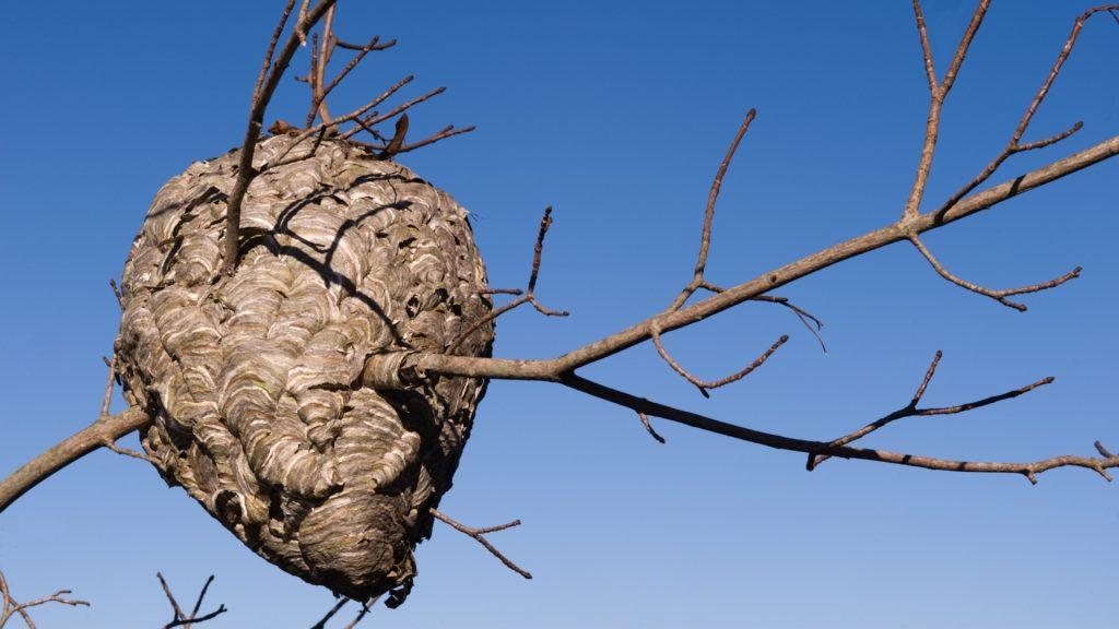 Where Do Hornets Nest