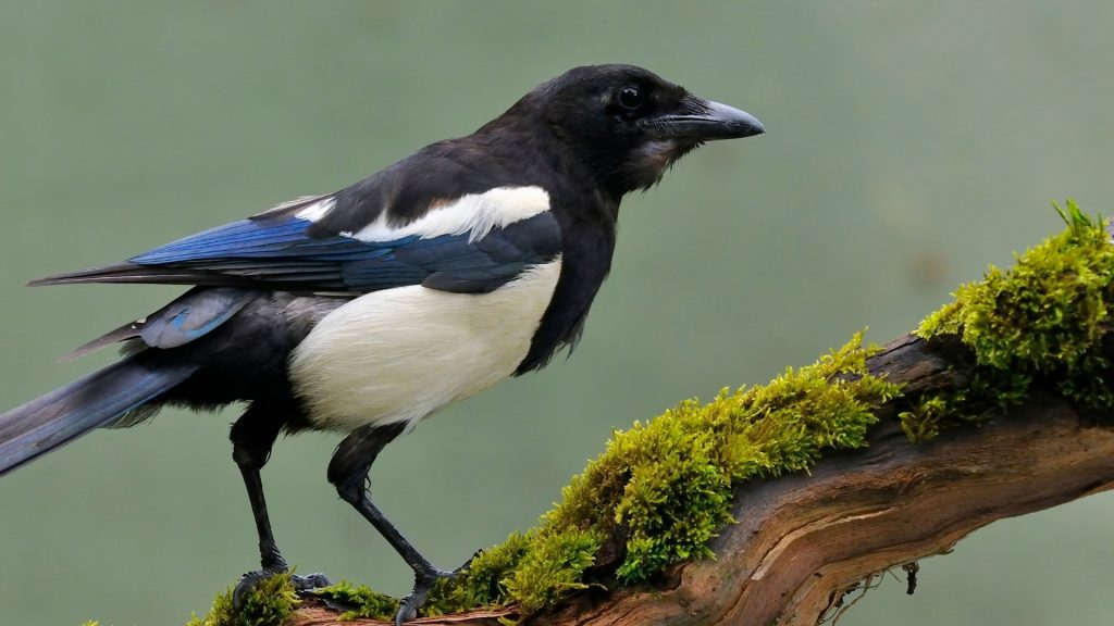 Why Is a Magpie Called a Magpie