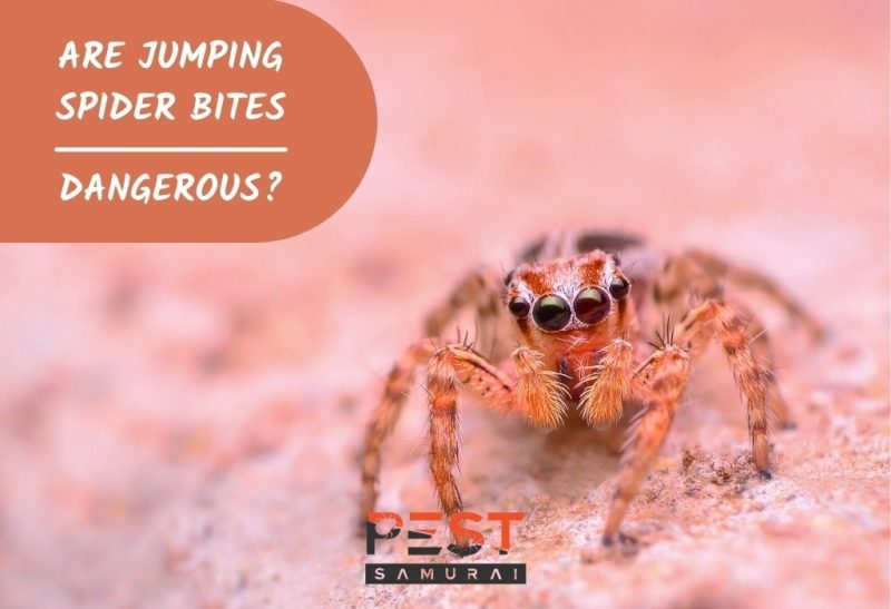 Are Jumping Spider Bites Dangerous