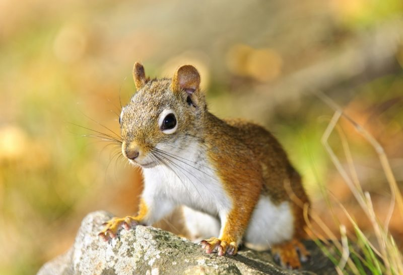 Do Squirrels Hibernate