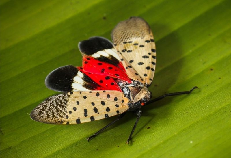 How To Get Rid of Lanternflies Naturally