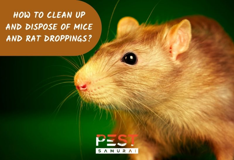 How To Safely Clean Up and Dispose of Mice and Rat Droppings