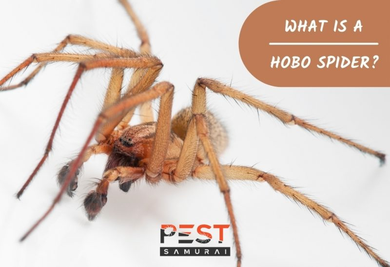 What Is a Hobo Spider.