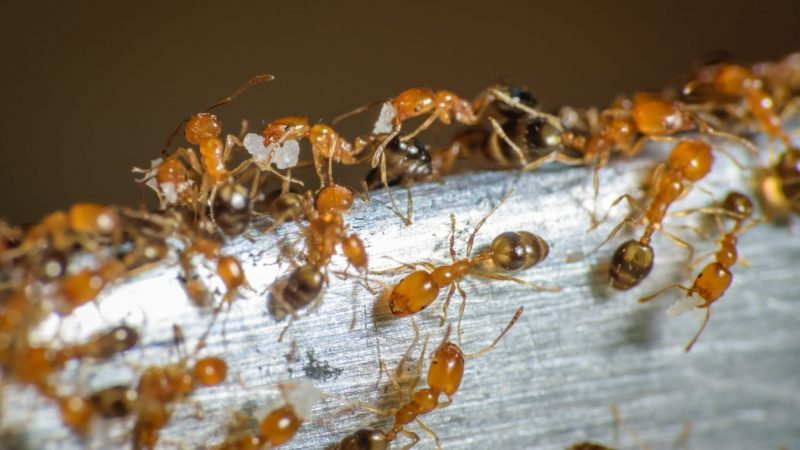 Are All Red Ants Fire Ants