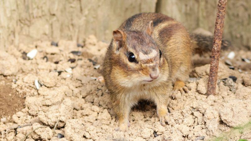Are Chipmunks Destructive