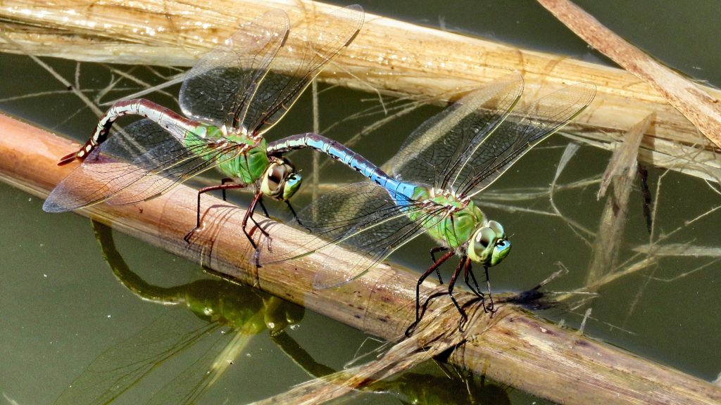 Are Dragonflies Good for a Pond