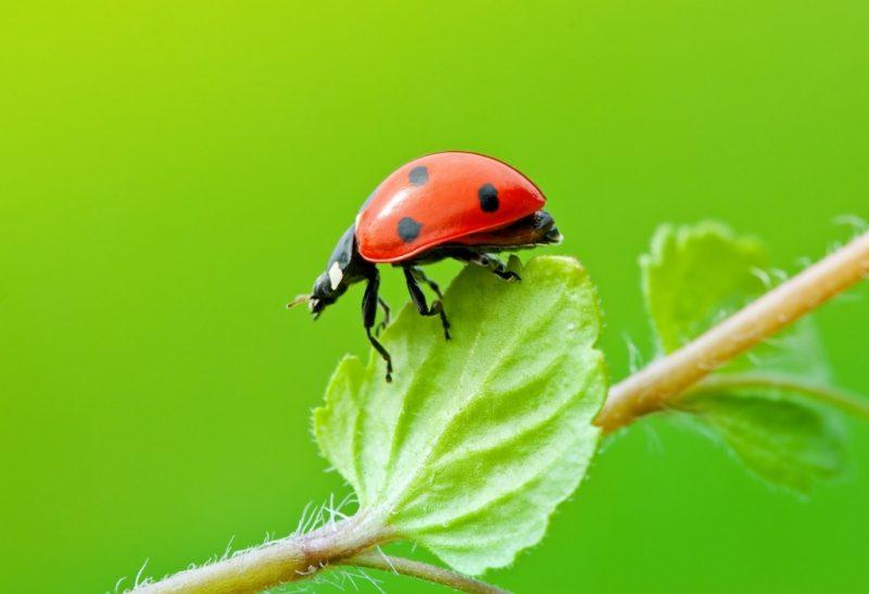 Are Ladybugs a Pest