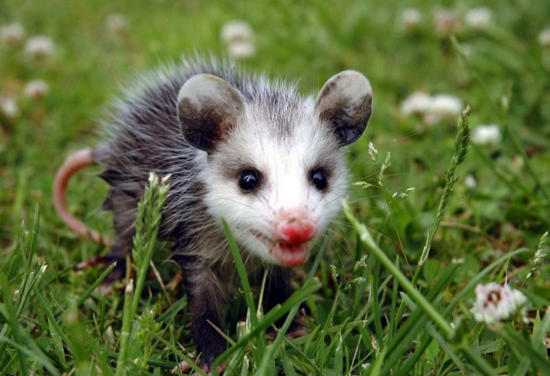 Are Opossum Feces Dangerous and Toxic to Humans and Pets