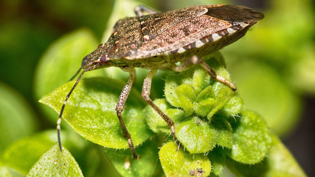 Are Stink Bugs Harmful to Plants