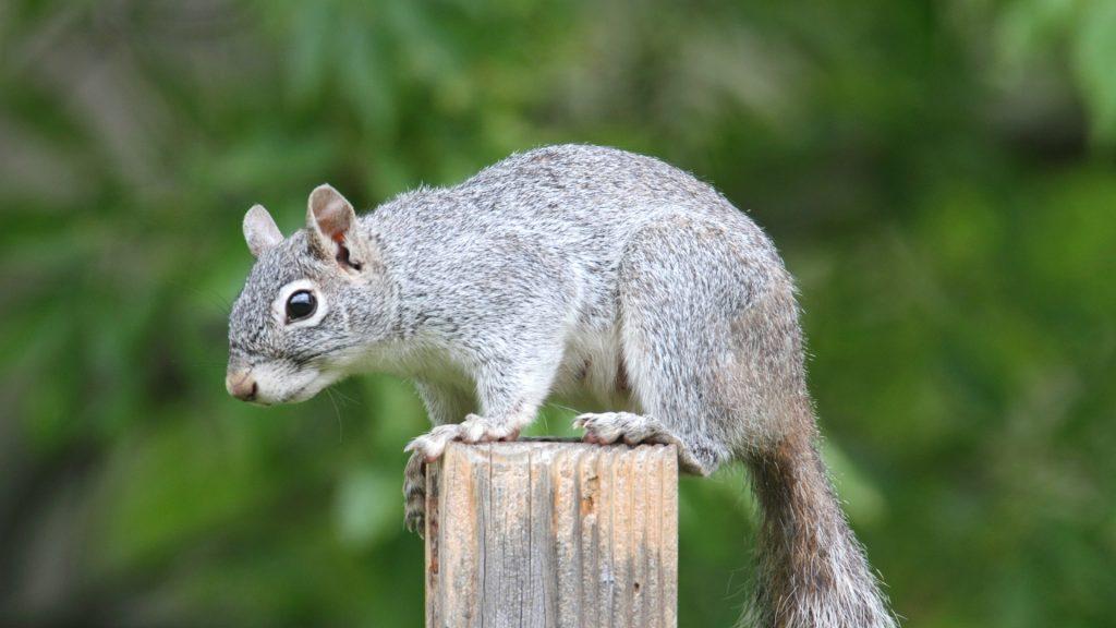Arizona Gray Squirrels