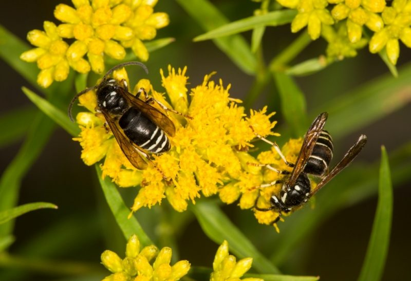 Bald-Faced Hornets and How to Get Rid of Them