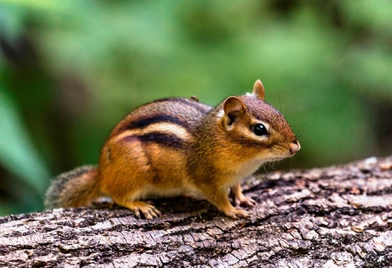 Best Chipmunk Traps That You Can Buy Online