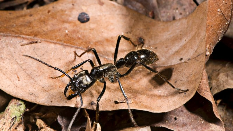 Biggest Ants On Earth