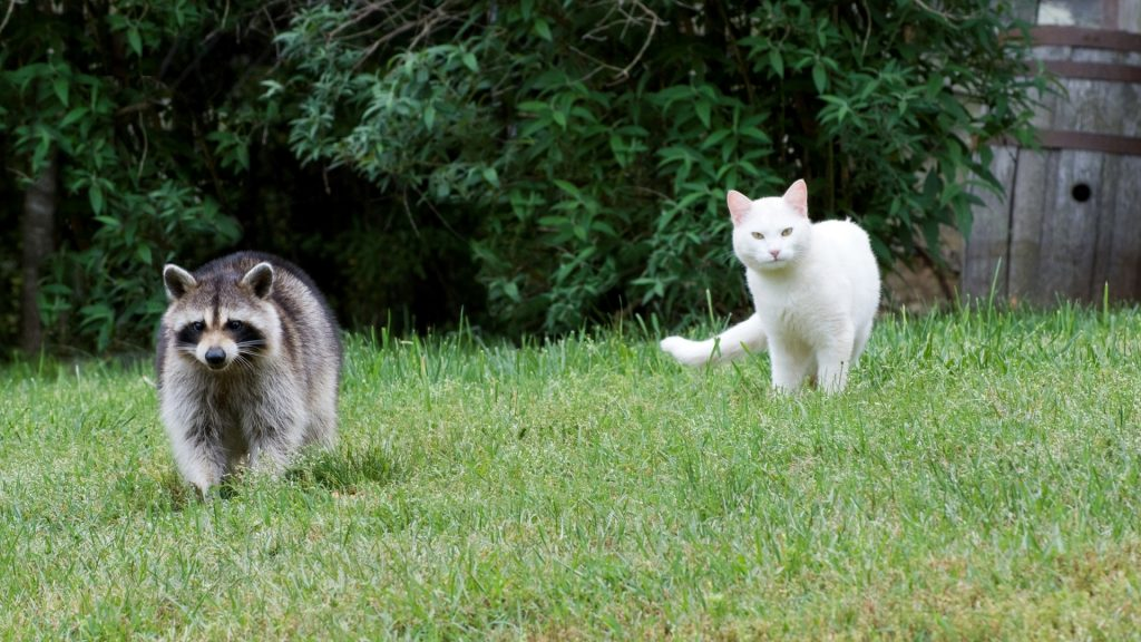 Can Cats Attack Raccoons