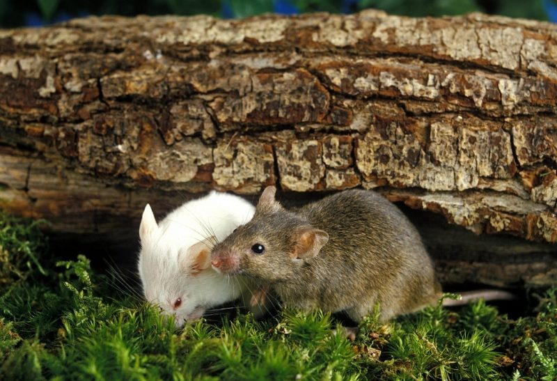 Common Types of Mice You'll Find in Your House